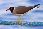 Title: White-eyed Gull