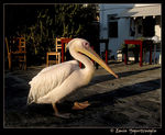 Title: White Pelican at Mykonos