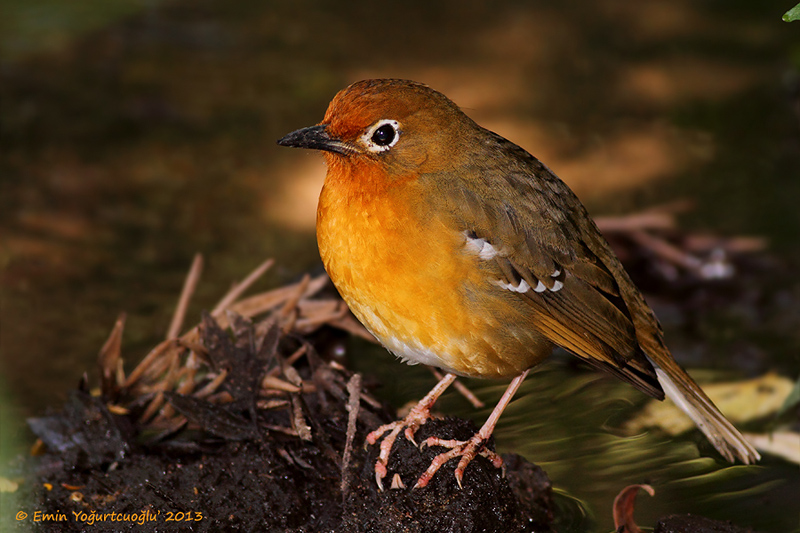 Abyssinian Ground-thrush