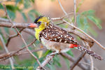 Title: Yellow-breasted Barbet
