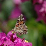 Title: Butterfly Vanessa cardui