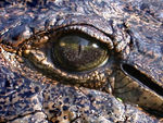Title: Crocodile eye