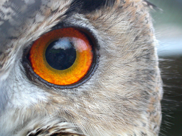Eagle owl's eye