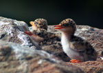 Title: Indian River Tern (Babies)