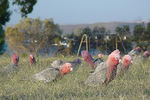 Title: Galahs at dinner