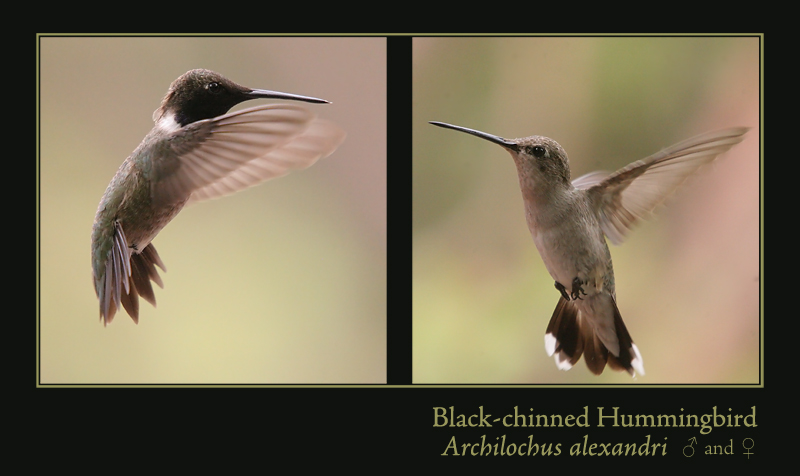 Mr. + Mrs. Hummingbird in-flights