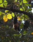 Title: Fruit Bat