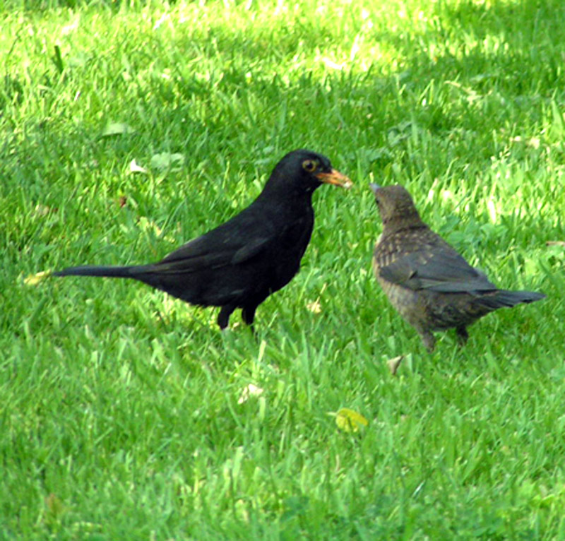 Dad blackbird and his young