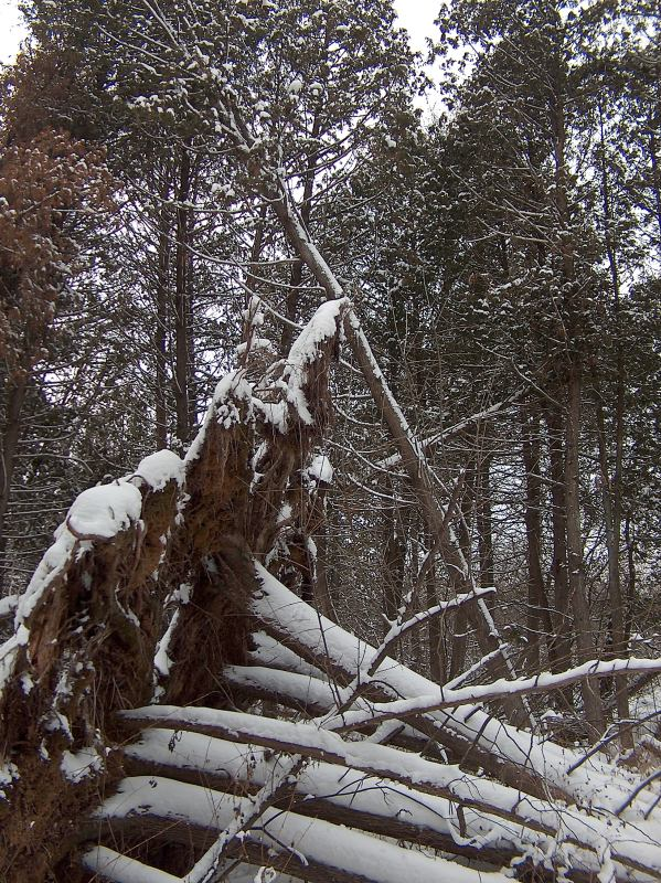Ups and Downs in the White Cedar Swamp