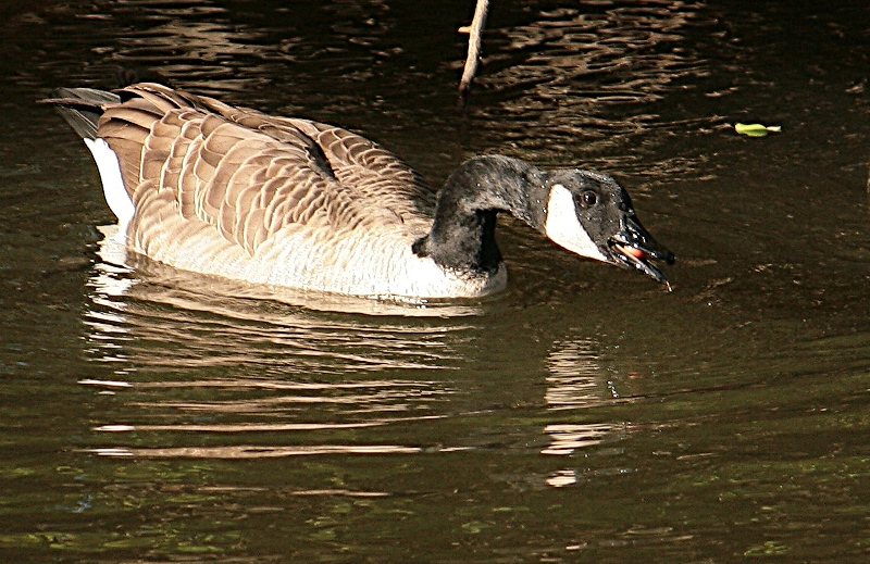 Snack Time for a Canada Goose