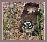 Title: A Kildeer Guards Her Eggs
