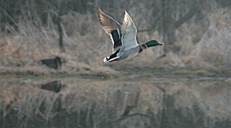 Mallard on the Wing