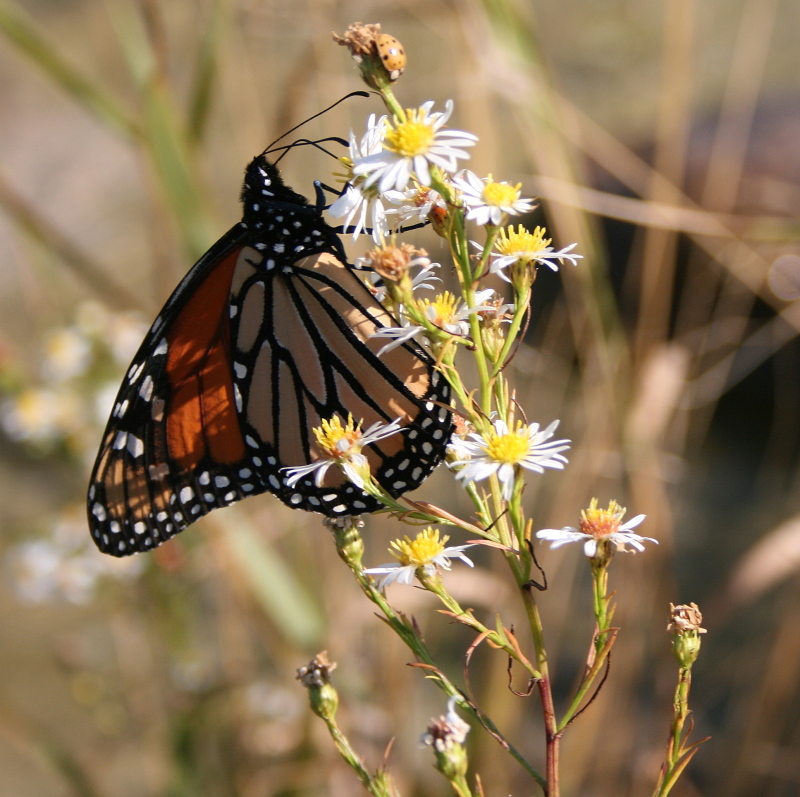 A Cana Island Monarch
