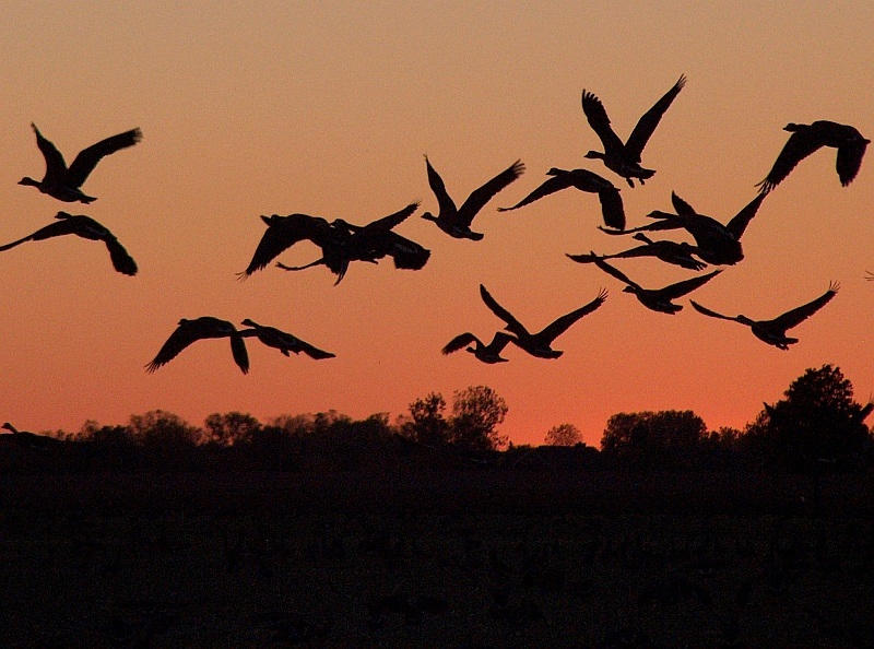 Dusk Flight of the Canada Geese
