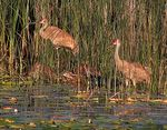 Title: Sandhills in the Tall Grass