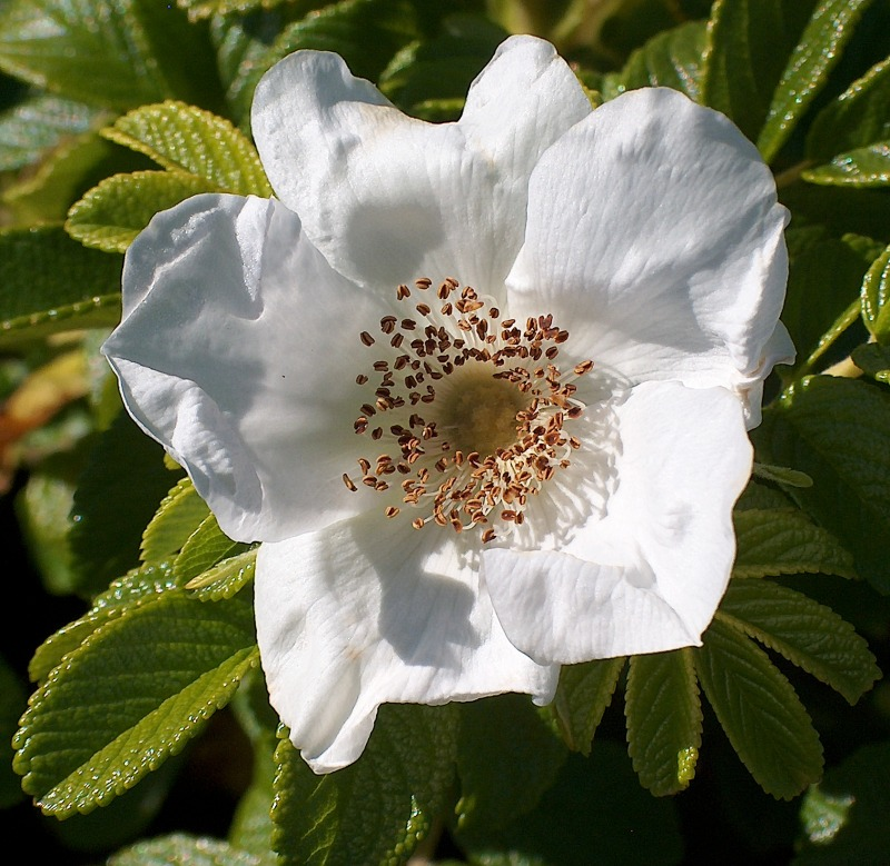 A Wild White Rose from Roque Bluffs