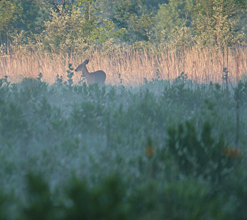 Whitetail in the Early Lights