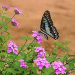 Title: Blue Triangle ButterflyOlympus C-750 Ultra Zoom