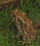 Title: A toad