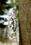 Title: white moth (another View)