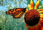 Title: Monarch and Sunflower