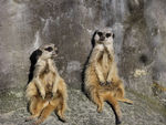 Title: Two is a pair - Meerkat