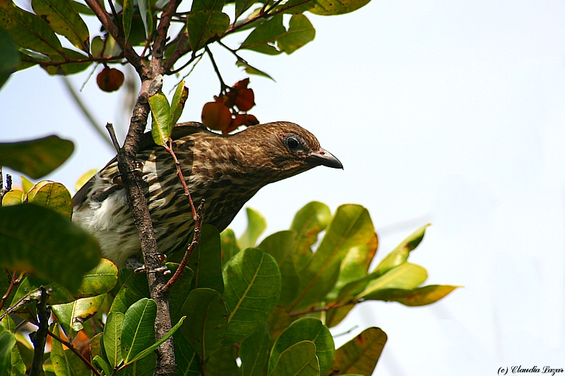 Female Figbird