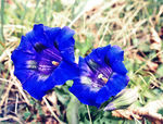 Title: Very blue flowers