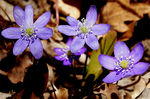 Title: French hepatica