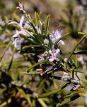 Title: Rosemary