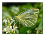 Title: Pieris napiFujifilm Finepix S5000