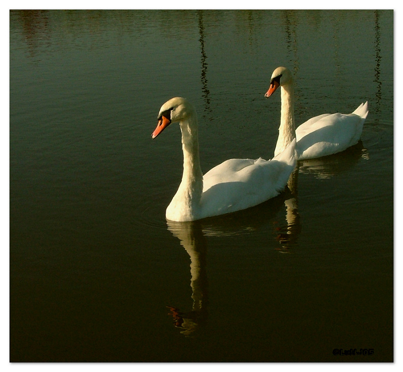 Swans in the evening sun.