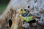 Title: Crested Barbet