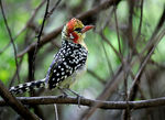 Title: Red Barbet