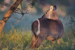 Title: Common Waterbuck