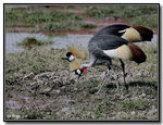 Title: African crowned crane III