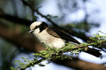 Title: Northern  White-crowned Shrike
