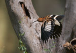 Title: Hoopoe II Camera: Canon EOS Mark II N