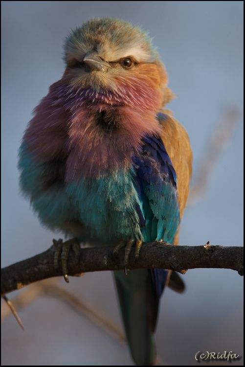 Lilacbreasted Roller III
