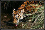Title: Tiger of India