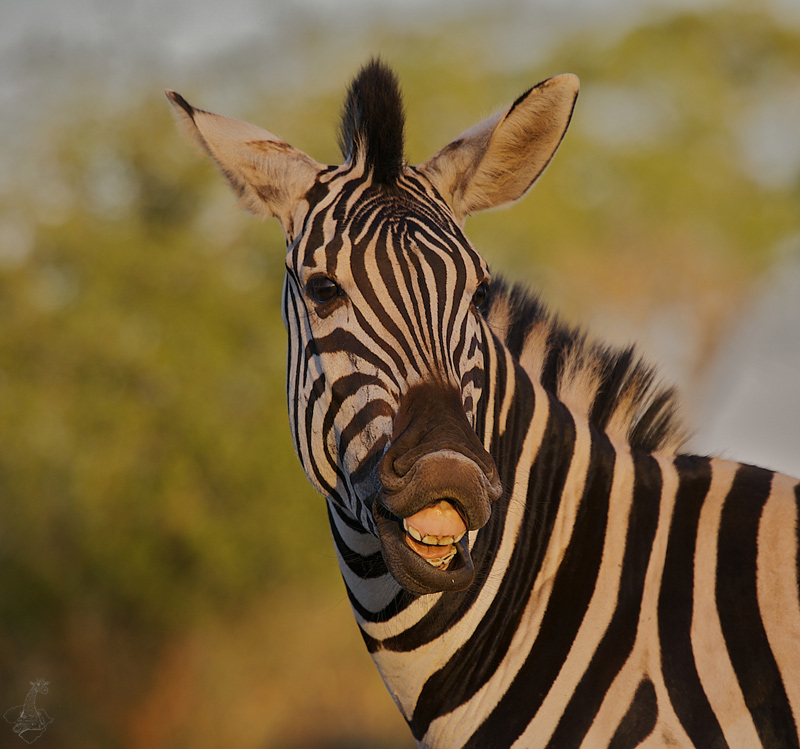 Smile of Zebra.