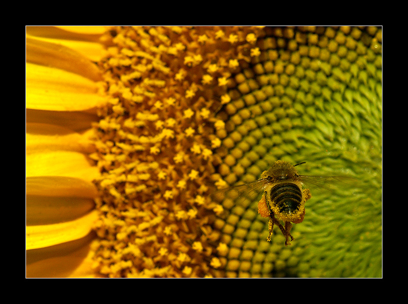 The bee and the sunflower