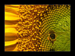 Title: The bee and the sunflower