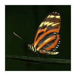 Title: Tiger Longwing Butterfly