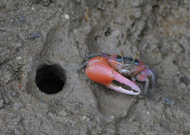 The Crab from Crab Island