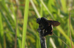 Title: Carpenter Bee2
