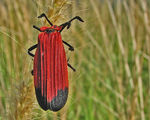 Title: Red Bug