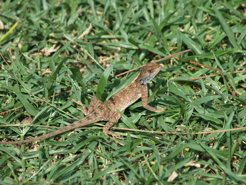 Little Agama