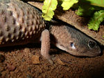 Title: Fat Tail Gecko