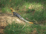 Title: Red Headed Agama